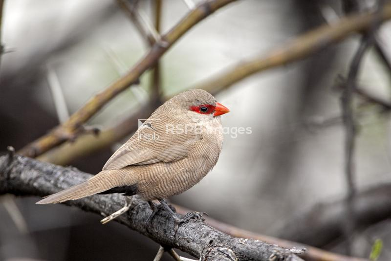 Common waxbill Estrilda astrild, adult male in tree, Namibia, October ...