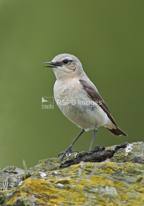 Wheatear Oenanthe oenanthe, female perched on moorland outcrop, Powys, Wale ...