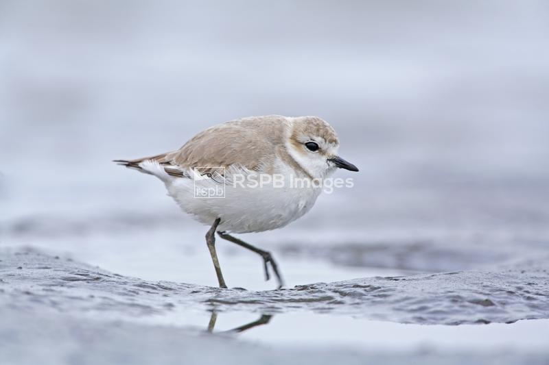 White-fronted Plover Charadrius marginatus, adult in non-breeding plumage o ...
