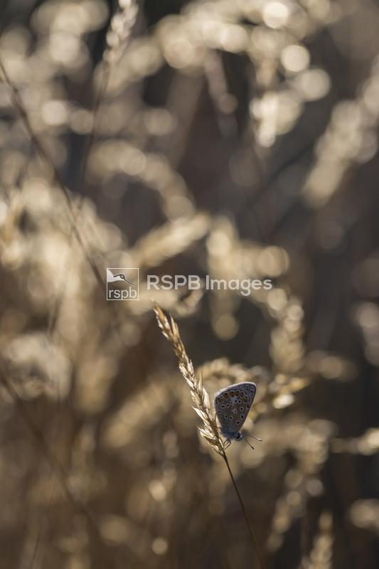 Common blue butterfly Polyommatus icarus, male imago roosting on grass ear, ...