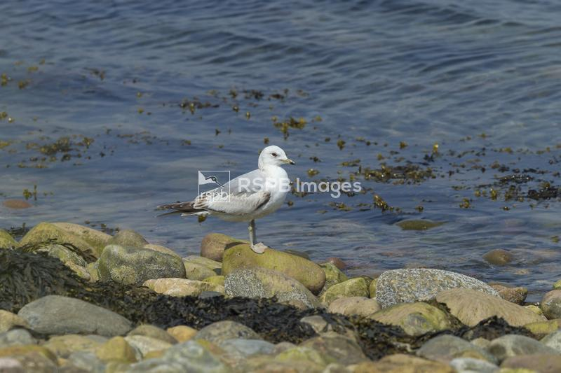 Common gull Larus canus, first summer bird perched on shoreline rocks, Crom ...