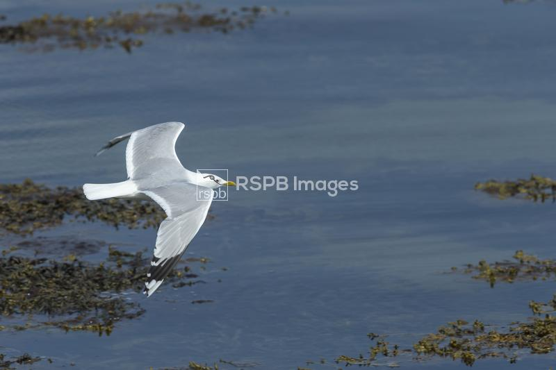 Common gull Larus canus, adult in flight across calm water, Cromarty Firth, ...