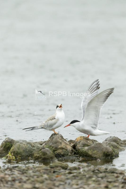 Common tern Sterna hirundo, juvenile with adult coming in to land on rocks, ...