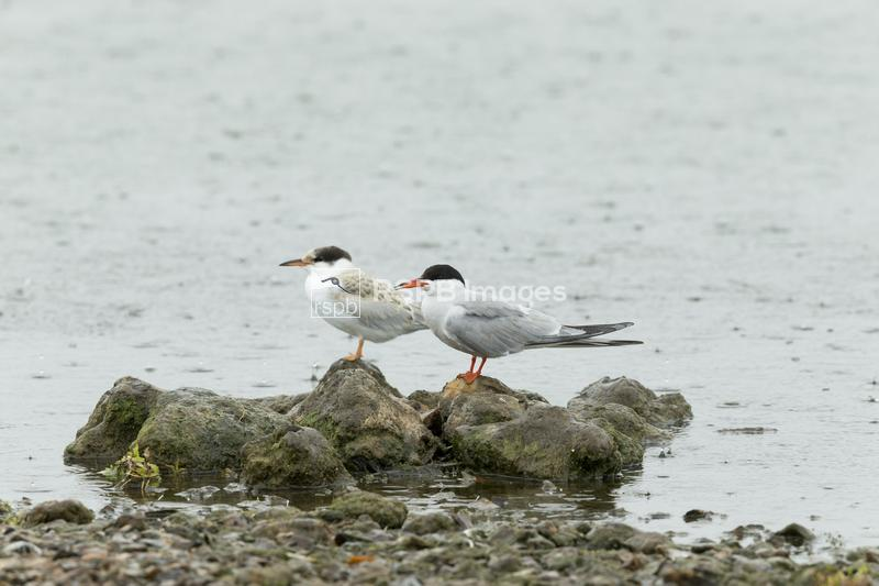 Common tern Sterna hirundo, adult and juvenile perched on rocks, Blashford  ...