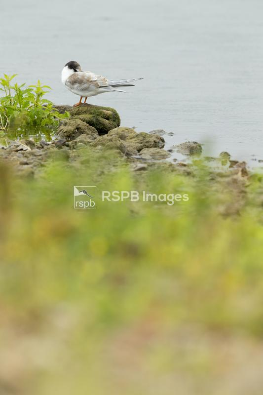 Common tern Sterna hirundo, juvenile roosting on shoreline, Blashford Lakes ...