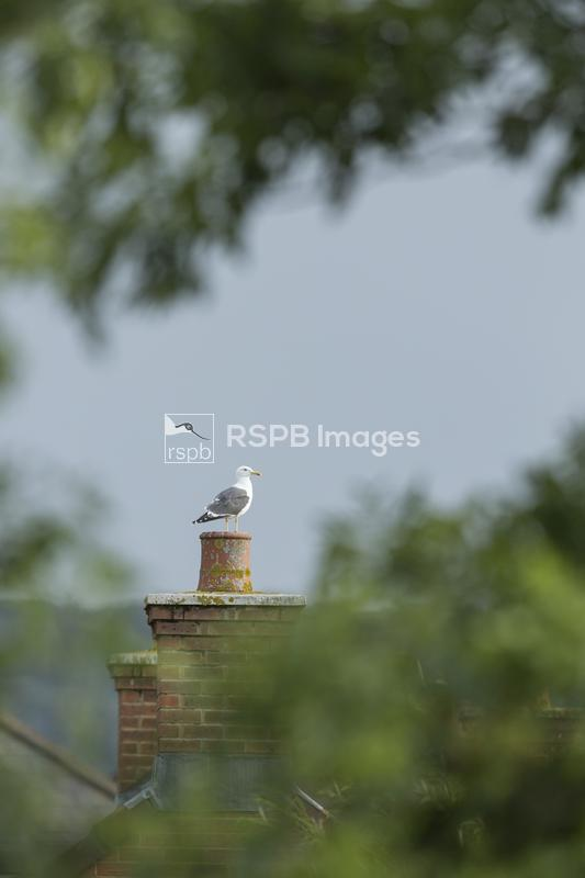 Lesser black-backed gull Larus fuscus, adult perched on urban chimney, West ...
