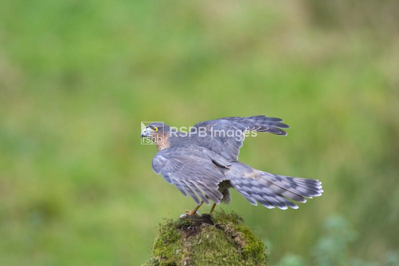 Sparrowhawk Accipiter nisus, adult female sat on a mossy perch, Dumfries an ...