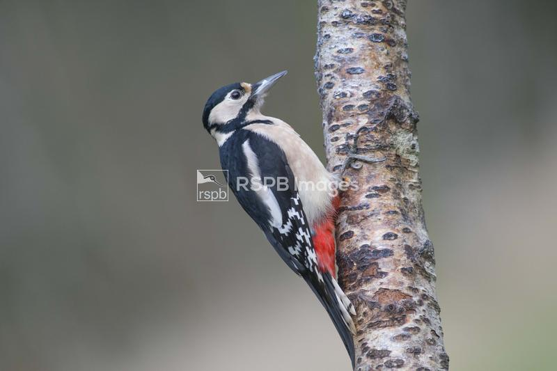 Greater spotted woodpecker Dendrocopos major, adult female clinging to a bi ...