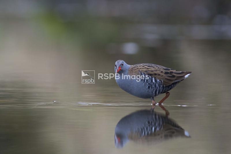 Water Rail, Rallus aquaticus,adult feeding in a shallow river with reflecti ...