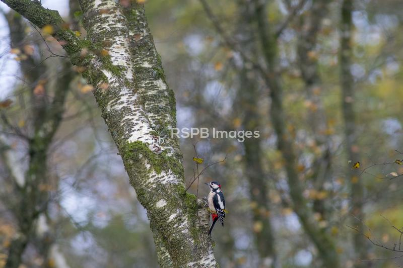 Greater spotted woodpecker Dendrocopos major, adult clinging onto a birch t ...