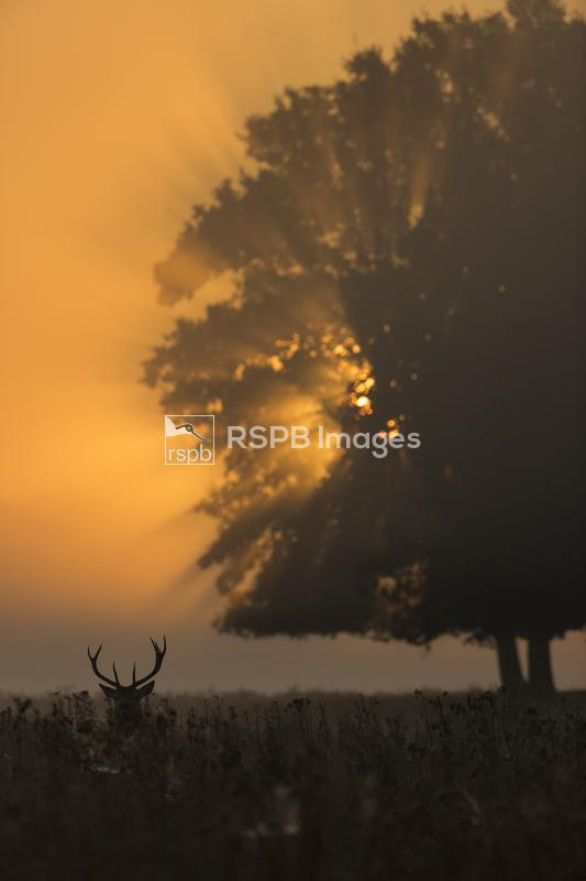 Red deer Cervus elaphus, adult stag standing in bracken, Bushy Park, Greate ...