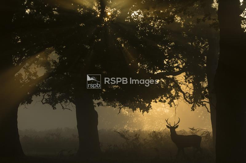 Red deer Cervus elaphus, adult stag walking through scattered woodland at s ...