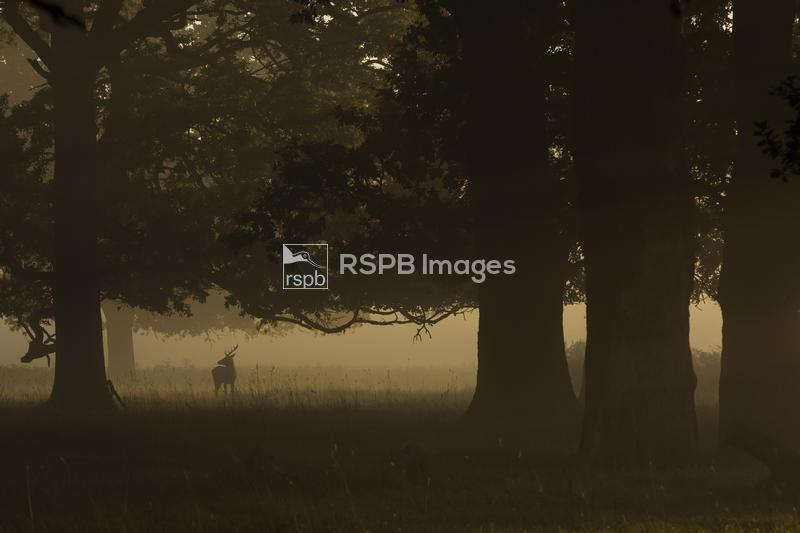 Red deer Cervus elaphus, adult stag, standing in scattered woodland, Bushy  ...