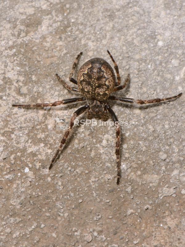 Walnut orb-weaver spider Nuctenea umbratica, female on a garage wall near h ...