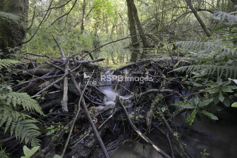 Dam of cut, gnawed logs and umbel stems built by Eurasian beaver Castor fib ...