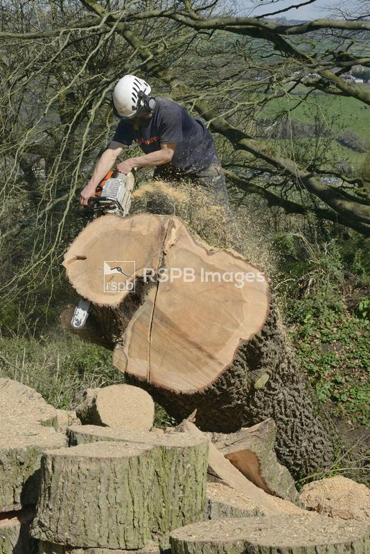 Tree surgeon sawing up the trunk of a big Deodar cedar tree Cedrus deodara, ...