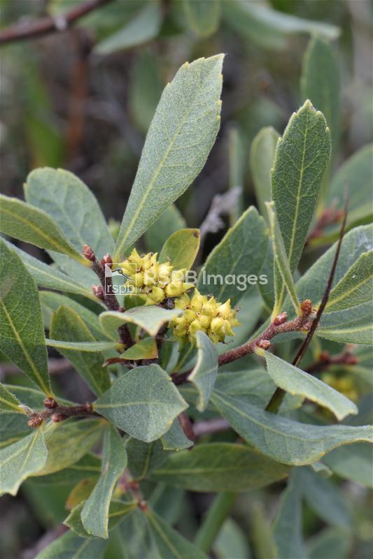 Bog myrtle Myrica gale, bush with fruit, Studland Heath, Dorset, July ...