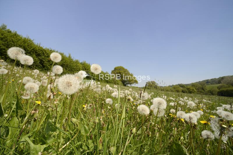 Dandelion Taraxacum officinale, seed heads in a hay meadow, Wiltshire, May ...