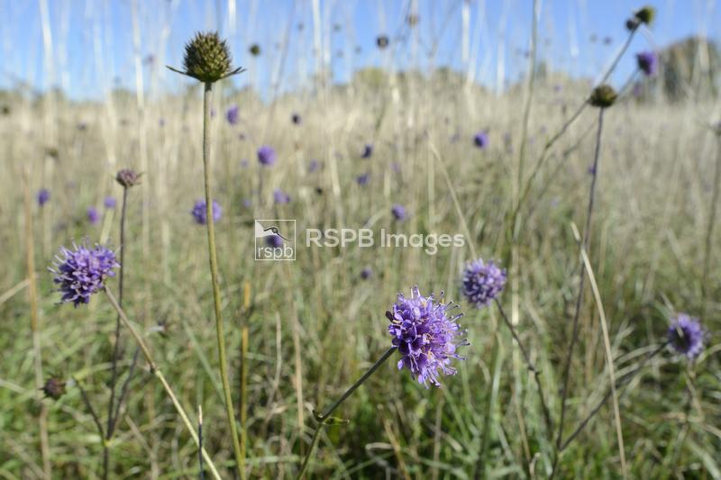 Devil's bit scabious Succisa pratensis, flowering in profusion in a chalk g ...