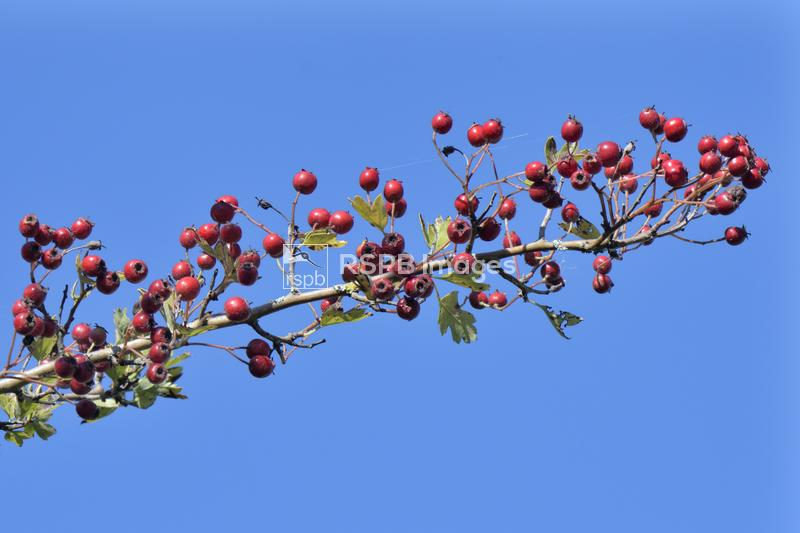 Hawthorn Crataegus monogyna, close up of berries in hedgerow, Wiltshire, Se ...