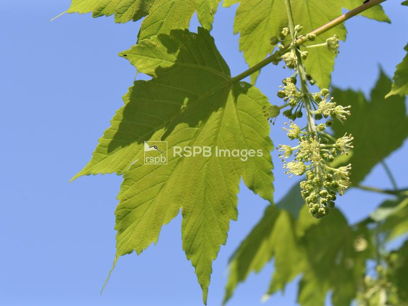 Sycamore tree Acer pseudoplatanus, in flower, Wiltshire, May ...