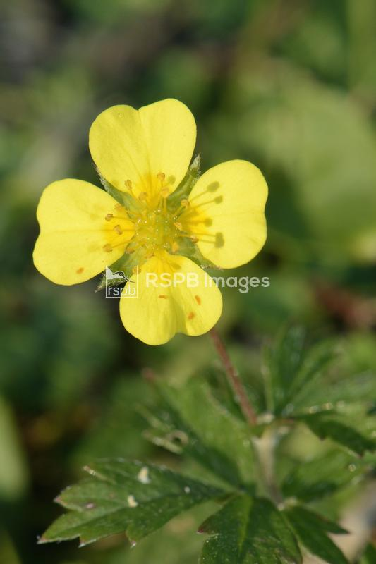 Tormentil Potentilla erecta, close up of flower, Cheddar gorge, Somerset, S ...